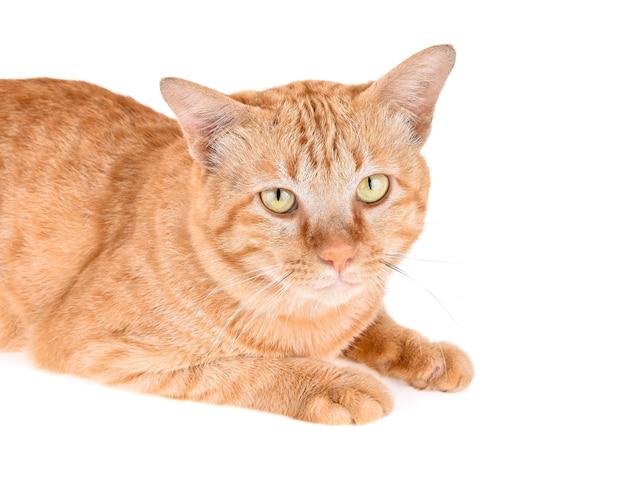 Portret czerwonego kota na białym tle
