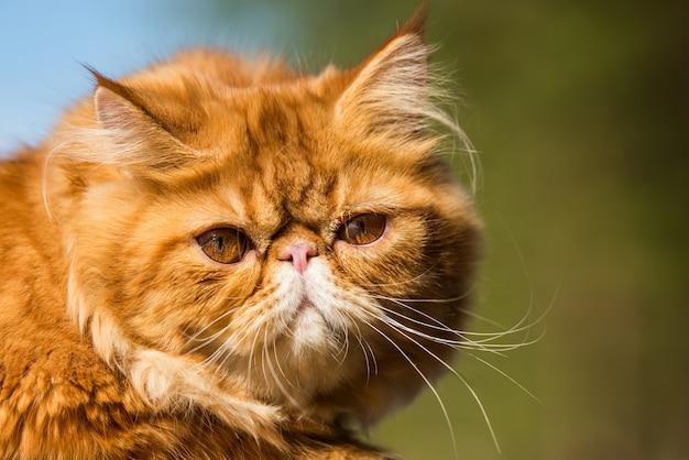 Portret czerwonego kota perskiego z dużymi pomarańczowymi dużymi oczami