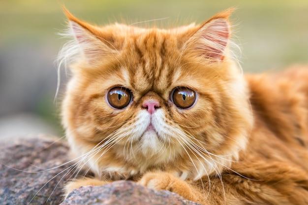Portret czerwonego kota perskiego z dużymi pomarańczowymi okrągłymi oczami