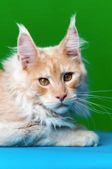 Portret czerwonego pręgowanego amerykańskiego kota leśnego na jasnoniebieskim i zielonym tle patrząc na kamerę