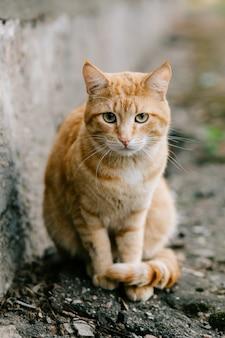 Portret czerwony głowiasty kota patrzeć