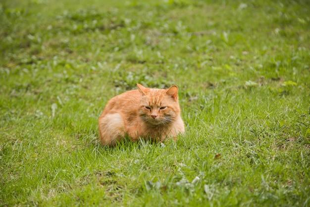 Portret czerwony głowiasty śpiący kot