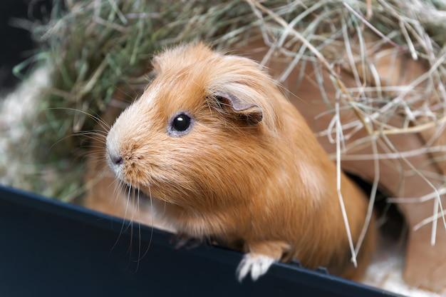 Portret czerwony królik doświadczalny.