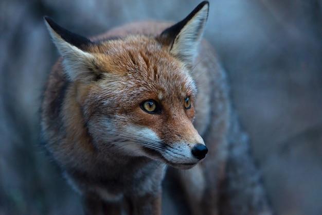Portret czerwony lis w lesie
