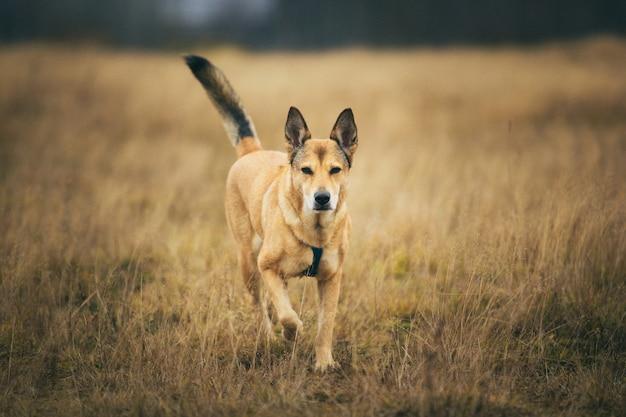 Portret czerwony pies rasy mieszanej do przodu na polu