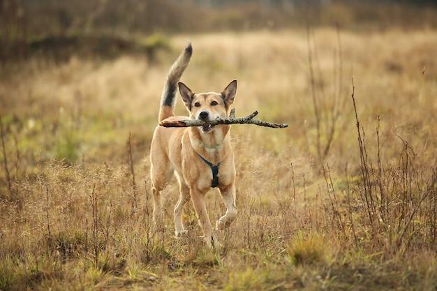 Portret czerwony pies rasy mieszanej do przodu z kijem w zębach