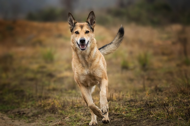 Portret czerwony pies rasy mieszanej działa w złożonym patrząc na kamery