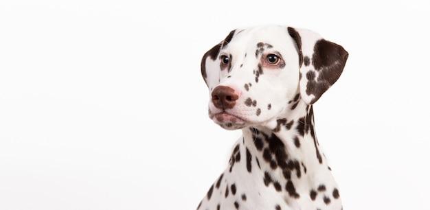 Portret dogsitting dalmacji na białym tle