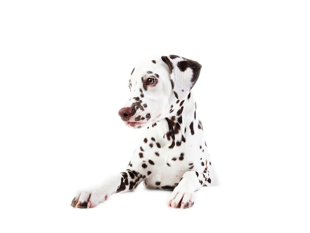 Portret dogsitting dalmacji, patrząc z boku, na białym tle