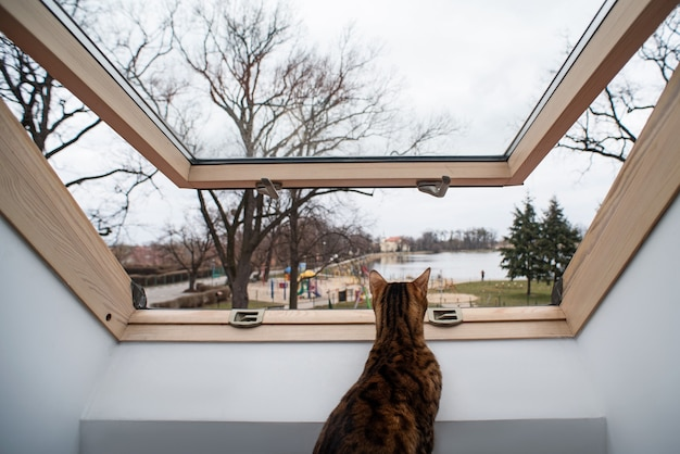 Portret domowego kota bengalskiego. kotek wygląda przez świetlik, za którym widać park