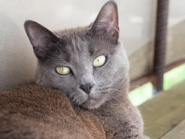 Portret domowego szarego kota z żółtymi oczami rasy rosyjskiej niebieskiej.
