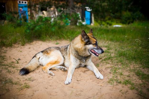 Portret dorosłego i bardzo inteligentnego psa o charakterze. mieszany pasterz i husky.