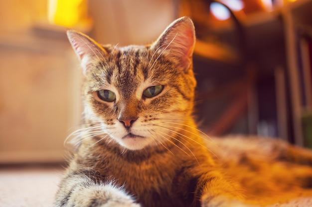 Portret dorosłego kota domowego z bliska