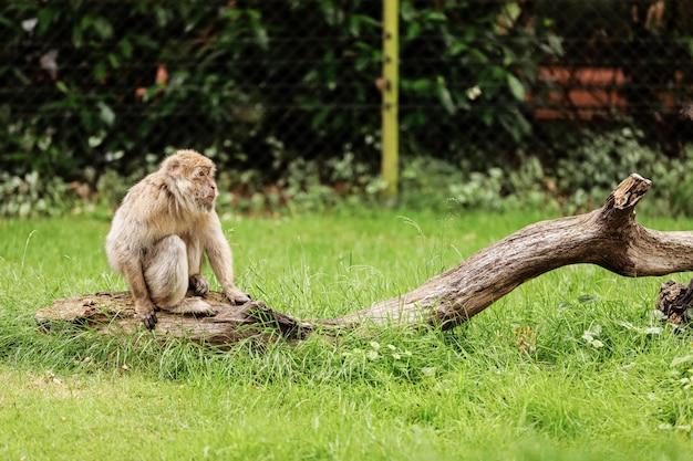 Portret dorosły makak w tropikalnym natura parku. bezczelna małpa w naturalnym lesie. macaca mulatta copyspace.