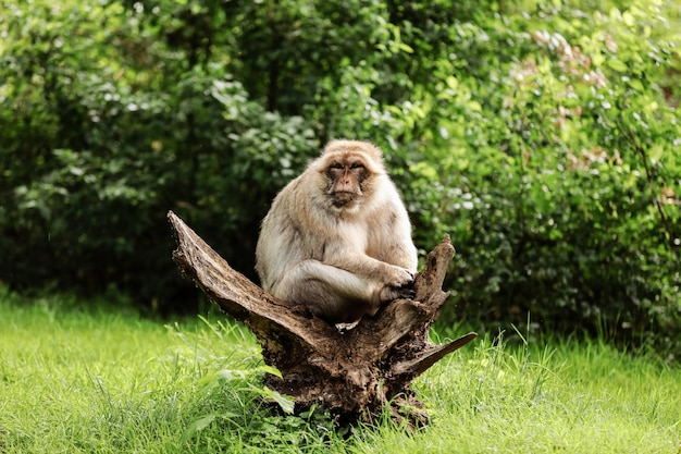 Portret dorosły makak w tropikalnym natura parku. bezczelna małpa w naturalnym lesie. przyrody scena z niebezpieczeństwa zwierzęciem. selektywne ustawianie ostrości