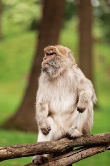 Portret dorosły makak w tropikalnym natura parku. bezczelna małpa w naturalnym lesie. przyrody scena z niebezpieczeństwa zwierzęciem.