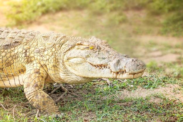 Portret drapieżnika krokodyla z ostrymi zębami i jasnożółtym okiem spacerującym po sawannie