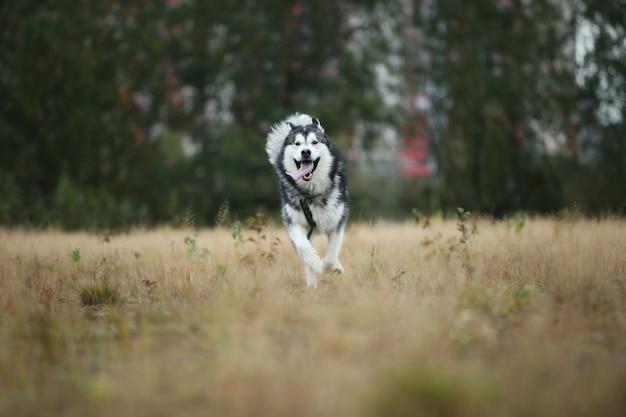 Portret dużego białego szarego rasowego psa alaskan malamute działa do przodu na polu wiosny