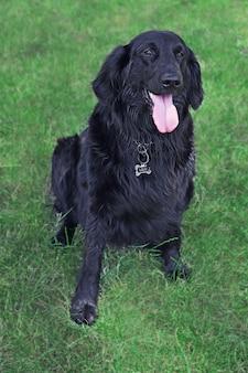 Portret dużego czarnego psa na tle zielonej trawy