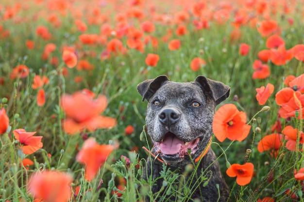 Portret dużego czarnego psa wśród kwiatów maku