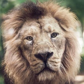 Portret dużego pięknego lwa