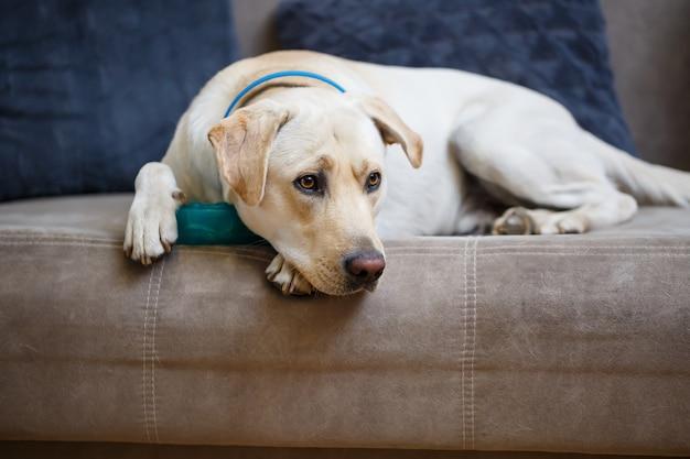 Portret dużego psa rasy labrador o jasnym umaszczeniu, leży na kanapie w mieszkaniu, zwierzęta