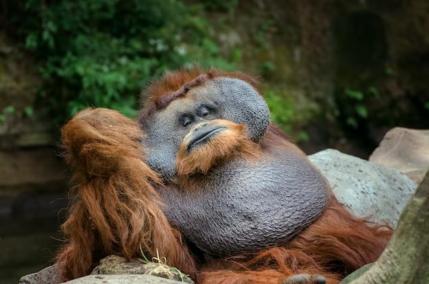 Portret dużego samca orangutana