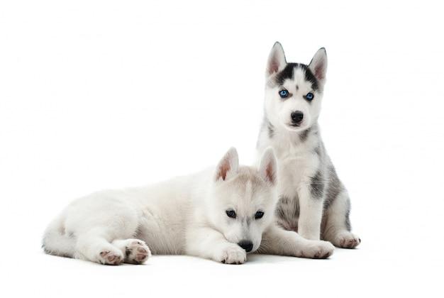 Portret dwóch małych szczeniąt psów husky syberyjskich o niebieskich oczach, leżąc, siedząc na podłodze. śmieszne małe psy odpoczywające, zrelaksowane, odwracające wzrok, po aktywności. przewożone zwierzęta.
