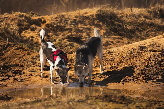 Portret dwóch psów pije wodę z kałuży