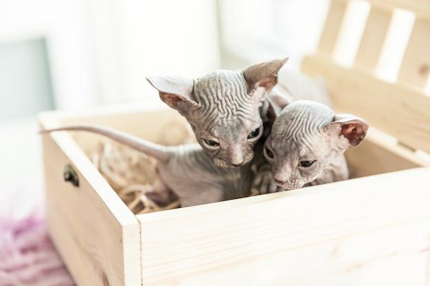 Portret dwóch szarych jednomiesięcznych kotów don sphynx siedzących w drewnianym pudełku