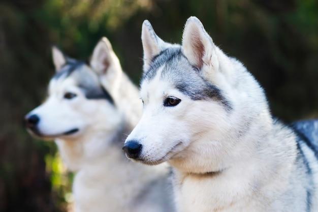 Portret dwóch szczęśliwych psów, rasy husky na tle lasu.
