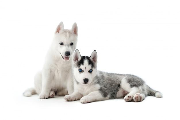 Portret dwóch uroczych i zabawnych szczeniąt rasy husky syberyjski, z biało-szarym futrem i niebieskimi oczami. małe psy siedzące na podłodze, pozujące, ciekawie wyglądające. izoluj na białym tle.