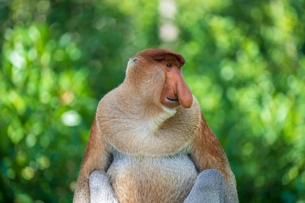 Portret dzikich małp trąba lub nasalis larvatus, w lesie deszczowym na wyspie borneo, malezja, z bliska. niesamowita małpa z dużym nosem.