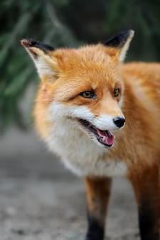 Portret dzikiego lisa w przyrodzie
