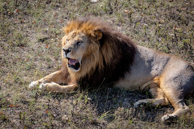 Portret dzikiego lwa ryczącego. lew leży na suchej trawie. park taigan