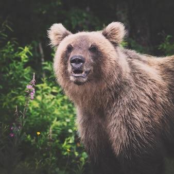 Portret dzikiego niedźwiedzia brunatnego patrzącego na aparat brązowy filtr retro vintage instagram i winieta