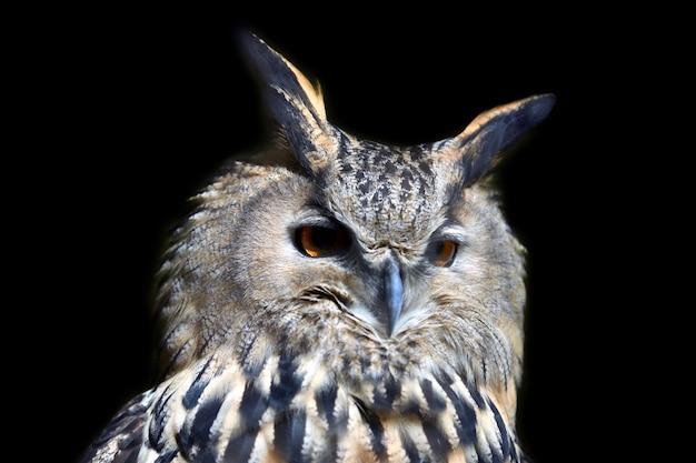 Portret dzikiej młodej sowy