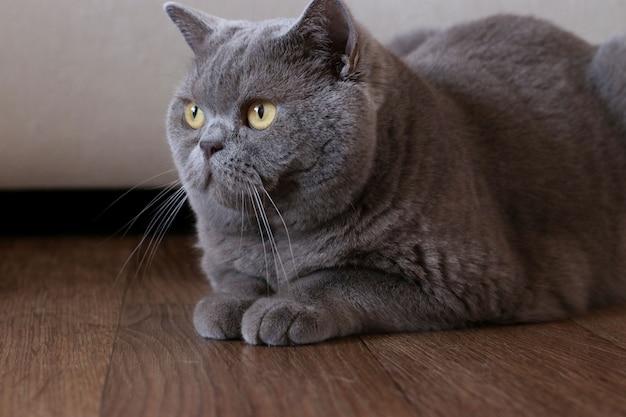 Portret elegancki kot brytyjski krótkowłosy, siedząc na podłodze