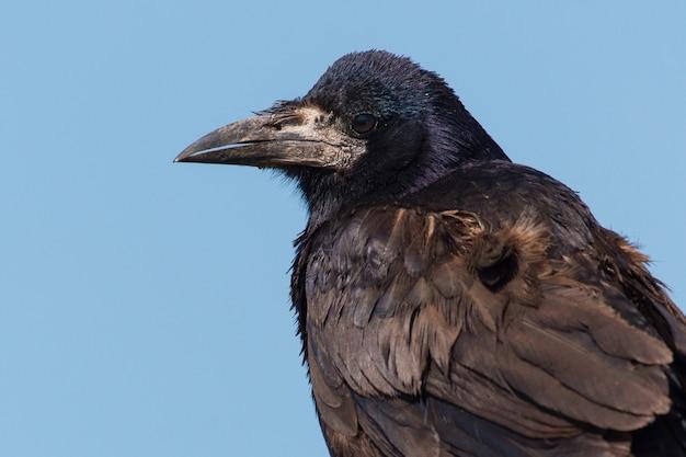 Portret gawrony corvus frugilegus