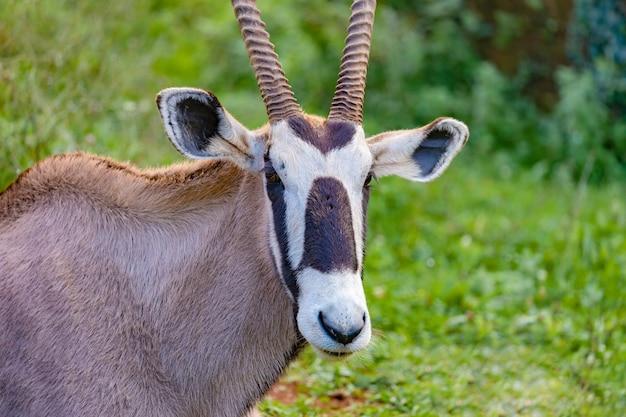Portret gazeli oryx na łące