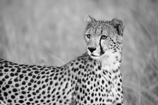 Portret geparda w krajobrazie trawy
