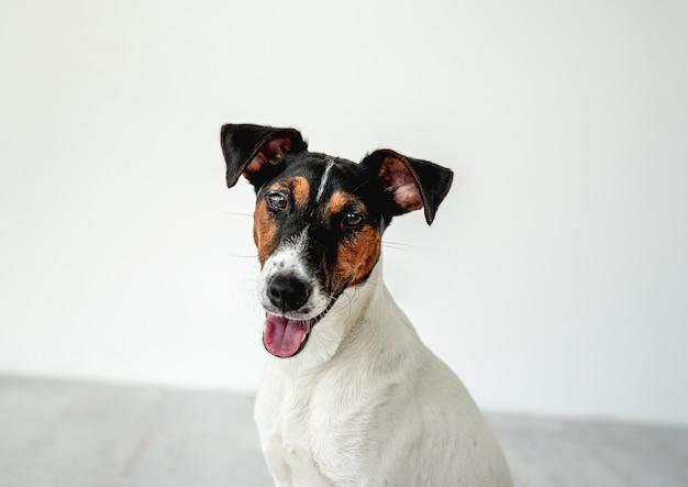 Portret gładkiego psa foksterier na białej ścianie