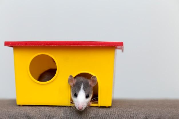 Portret głowa białego i szarego niepłochliwego myszy chomika z błyszczącymi oczami, patrząc od jasnej żółtej klatki na światło miejsce. trzymanie zwierząt domowych w domu, opieka i miłość do zwierząt.