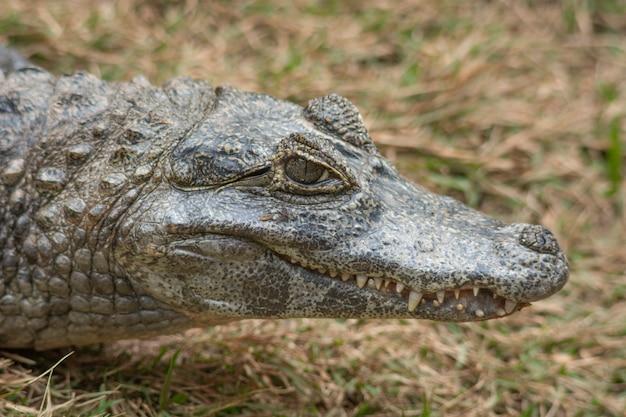 Portret głowy aligatora ameryki południowej