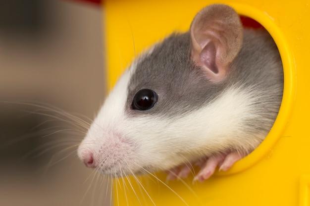 Portret głowy białego i szarego oswojonego chomika myszy o błyszczących oczach, patrząc z jasnożółtej klatki na światło.