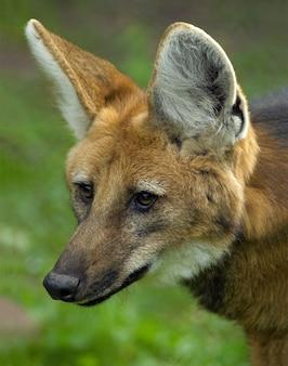 Portret głowy grzywiastego wilka