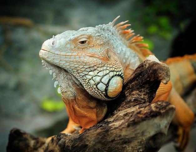Portret głowy iguany