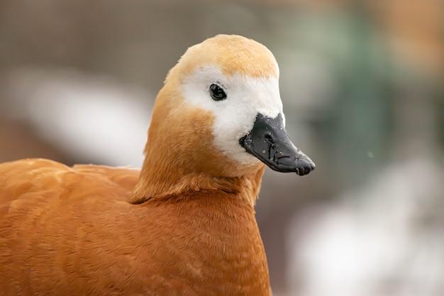 Portret głowy kaczki z bliska.