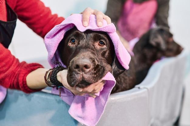 Portret głowy psa labradora do wanny, suszony ręcznikiem przez ręce kobiety