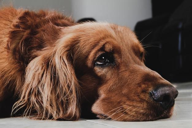 Portret golden retriever psa odpoczynek w domu. zbliżenie